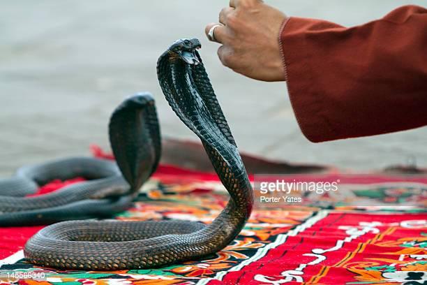 Snake charmer with Cobra