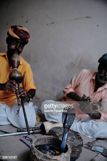 Snake charmers handle a cobra snake in Jaipur Rajasthan India 2012