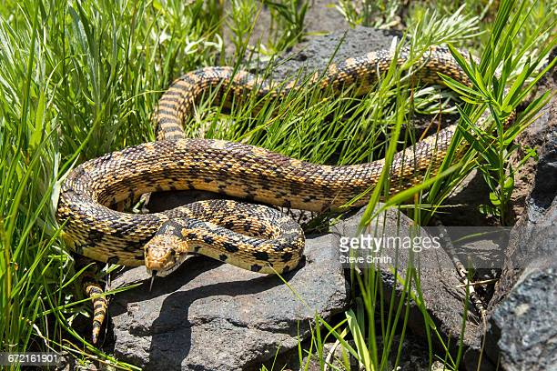 snake coiled on rocks in grass - bull snake stock pictures, royalty-free photos & images