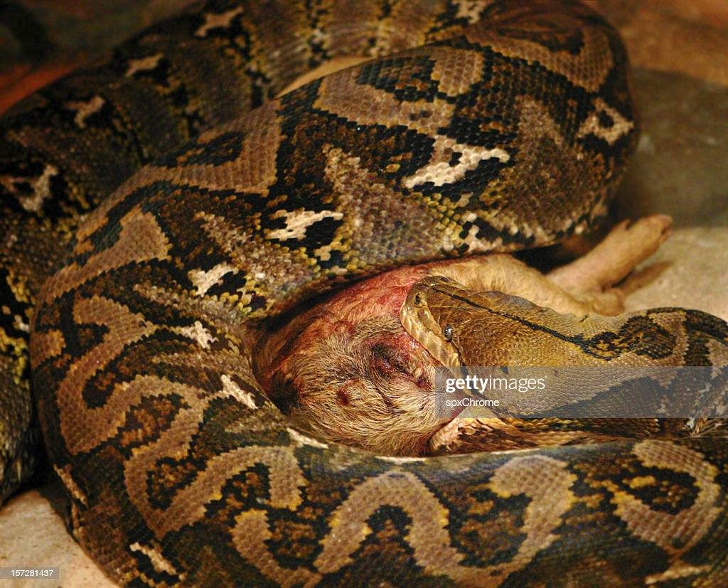 Snake eating a Pig : Stock Photo