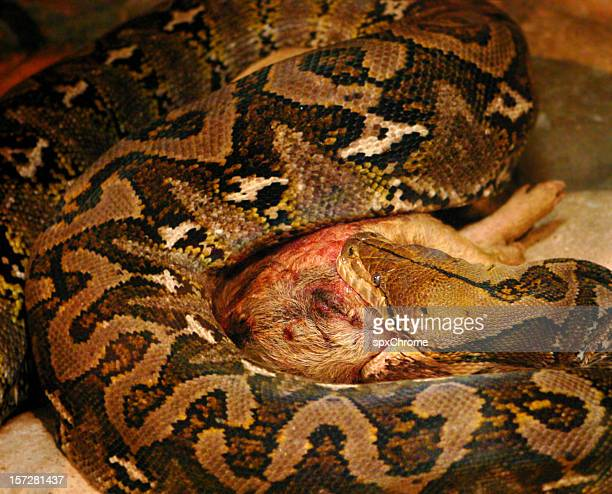 snake eating a pig - bloody gore stock pictures, royalty-free photos & images