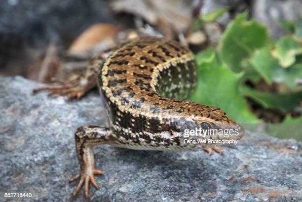 snake eyed lizard, lycian way, oludeniz, fethiye, mugla, turkey - mugla province stock pictures, royalty-free photos & images
