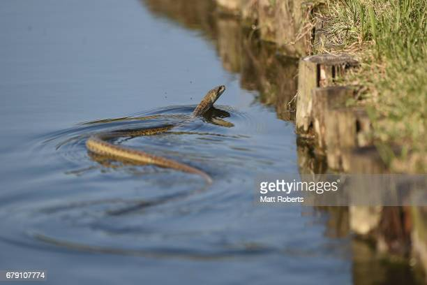 A snake is seen swimming in the lake on the 15th hole during the second round of the World Ladies Championship Salonpas Cup at the Ibaraki Golf Club...