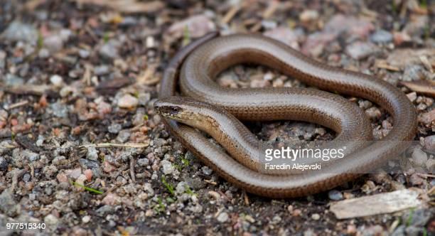 Snake lizard