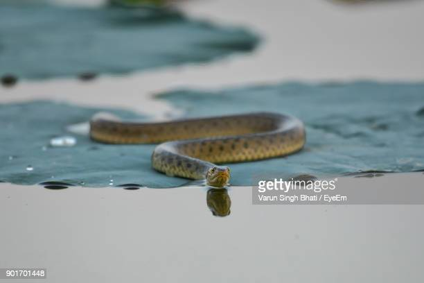 Snake On Leaf In Lake
