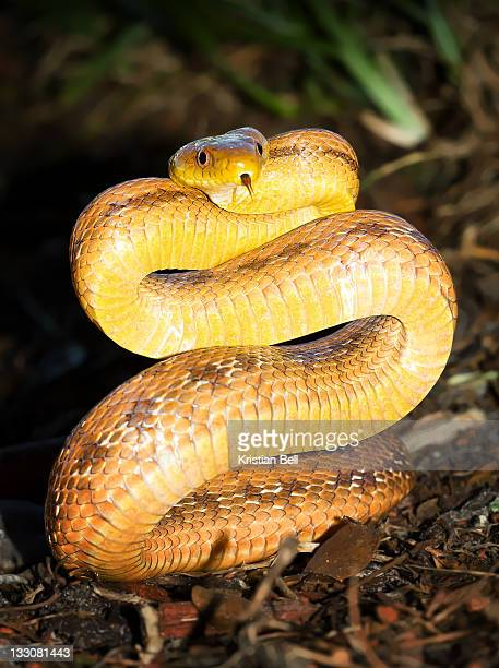 snake - chicken snake stock pictures, royalty-free photos & images