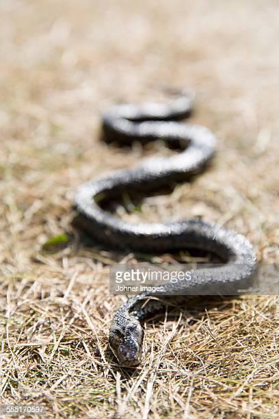 snake - エーランド ストックフォトと画像