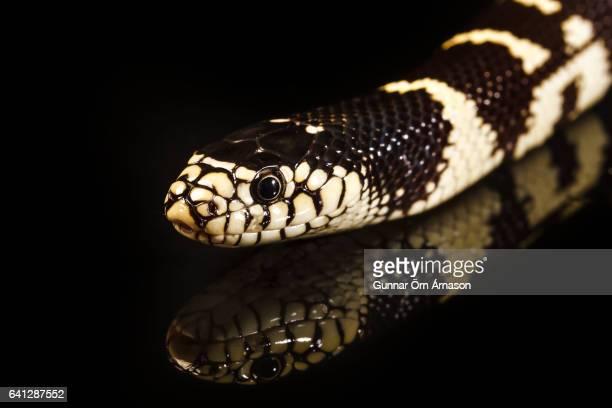 snake - gunnar örn árnason stock pictures, royalty-free photos & images