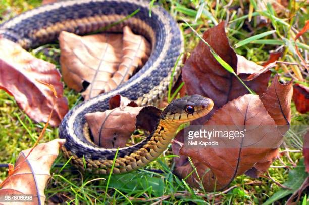 snake - garter snake stock pictures, royalty-free photos & images