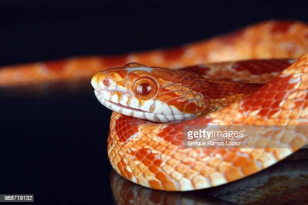 snake - corn snake stock pictures, royalty-free photos & images