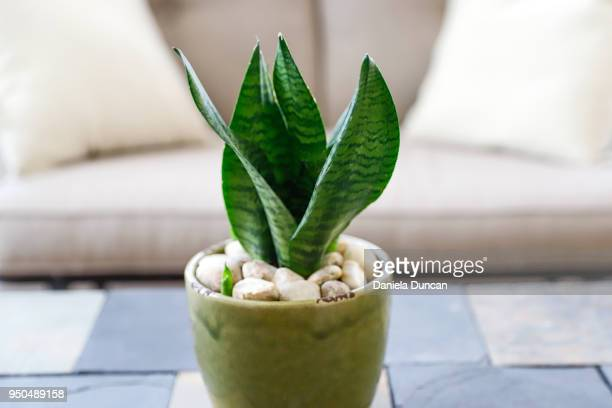 snake plant in sunroom - sanseveria trifasciata stock pictures, royalty-free photos & images