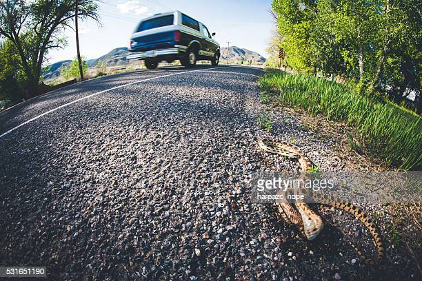 snake roadkill - roadkill stock photos and pictures