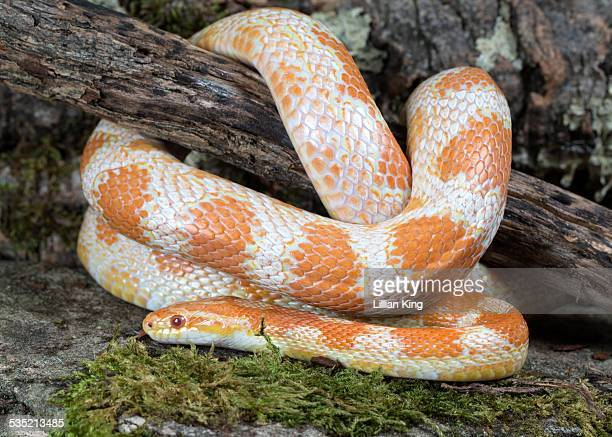snake settled down - corn snake stock pictures, royalty-free photos & images