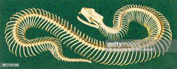 Snake skeleton drawing