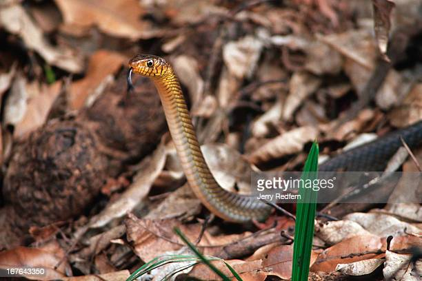 A snake slithers through the underbrush in Mihintale National Park