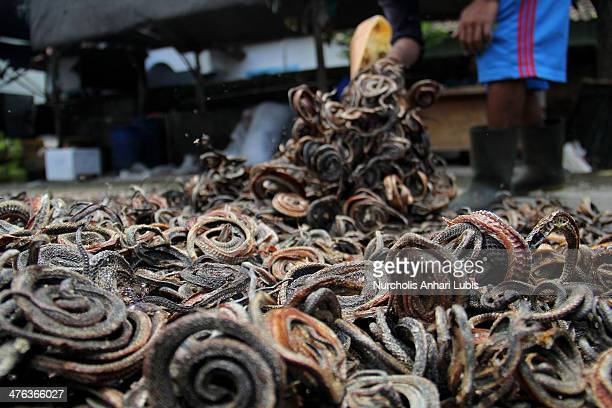 A snake sunning worker exposes snakes to sunlight for its pelt on March 2 2014 in the village of Kertasura Cirebon Indonesia At slaughter house snake...