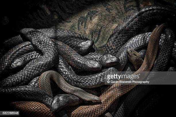 snakes alive - copperhead snake stock pictures, royalty-free photos & images