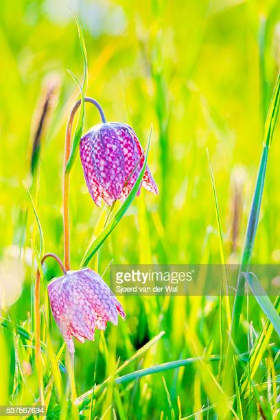 """snake's head fritillary flower in a field in spring - """"sjoerd van der wal"""" stock pictures, royalty-free photos & images"""