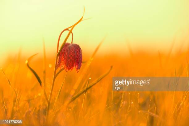 """snake's head fritillary (fritillaria meleagris) in a meadow during a beautiful springtime sunrise with drops of dew on the grass. - """"sjoerd van der wal"""" or """"sjo"""" stock pictures, royalty-free photos & images"""