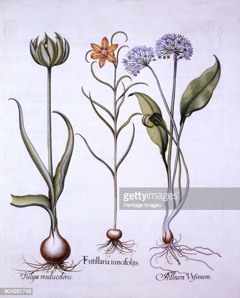 Snake's Head Fritillary Wild Garlic and Tulip from 'Hortus Eystettensis' by Basil Besler 156116 I Fritillaria iuncifolijs II Allium ursinum III...