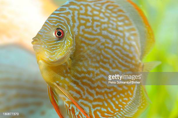 snake-skin red, discus fish (symphysodon) - reptile pattern stock pictures, royalty-free photos & images