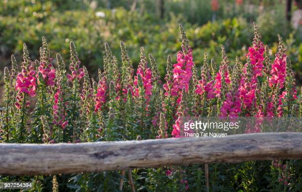 Snap dragon by fence