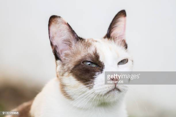 snap shot of siamese calico cat standing near window - black siamese cat stock pictures, royalty-free photos & images
