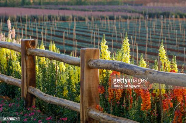 Snapdragon by fence