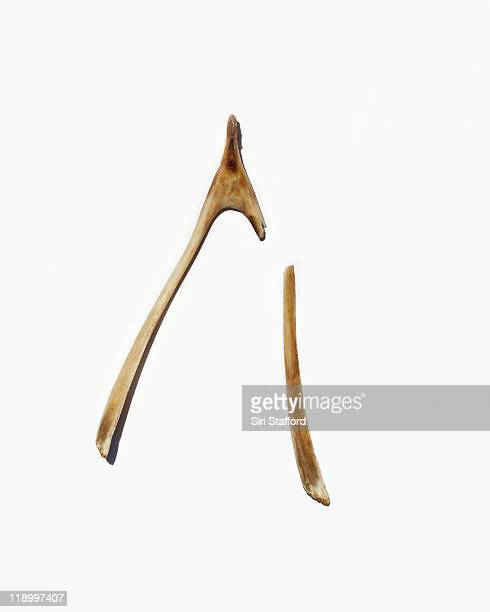 snapped wishbone on white - animal bones stock photos and pictures