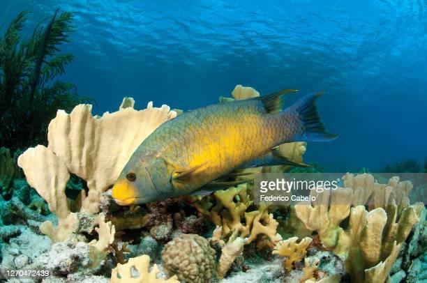 snapper fish, klein bonaire - klein stock pictures, royalty-free photos & images