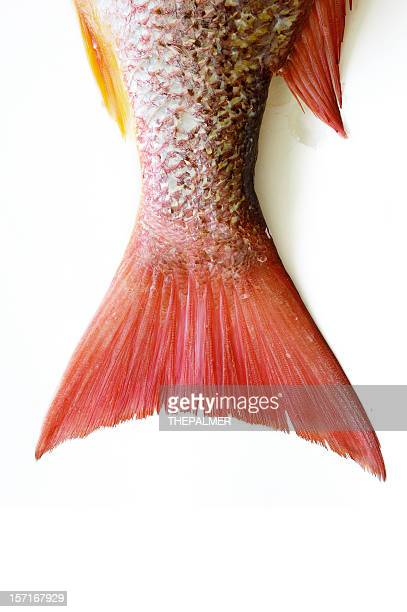 snapper tail