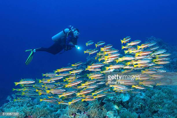 Snappers and diver - Palau, Micronesia