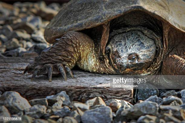 snapping turtle along railroad tracks - snapping turtle stock pictures, royalty-free photos & images