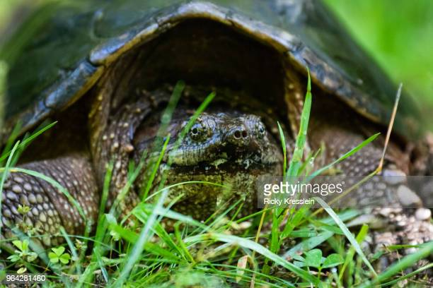 snapping turtle close-up - snapping turtle stock pictures, royalty-free photos & images