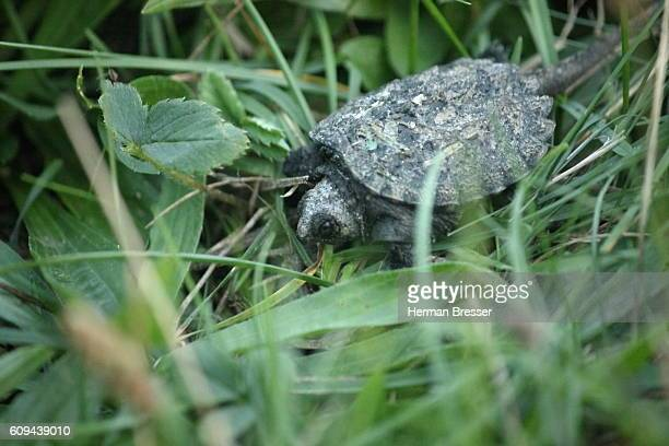 Snapping Turtle (Chelydria serpentina) Hatchling