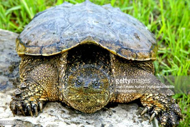 snapping turtle head on - snapping turtle stock pictures, royalty-free photos & images