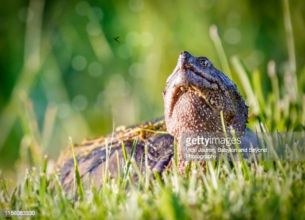 snapping turtle looking at a potential meal in exton, pennsylvania - snapping turtle stock pictures, royalty-free photos & images