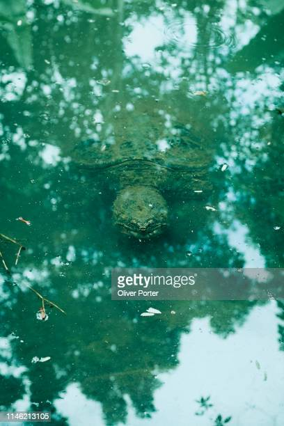 snapping turtle - snapping turtle stock pictures, royalty-free photos & images