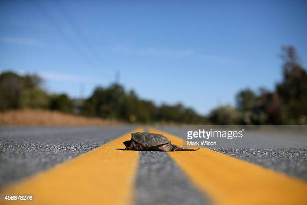 Snapping Turtle sits in the middle of the road October 8 2014 in Hoopers Island Maryland Several islands in the Chesapeake Bay region are slowly...