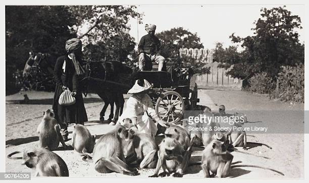 A snapshot photograph of a European woman kneeling to feed a group of Hanuman monkeys Her Indian servant and driver look on in the background Monkeys...
