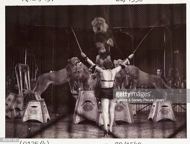 A snapshot photograph of a glamorous female lion tamer in front of a group of performing lions at the circus taken by an unknown photographer in...