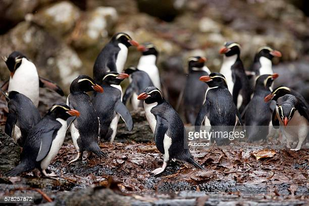 Snares penguins Eudyptes robustus about to enter the water Snares Islands New Zealand Sub Antarctic