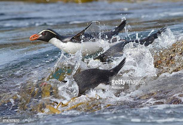 Snares penguins Eudyptes robustus entering the water Snares Islands New Zealand Sub Antarctic