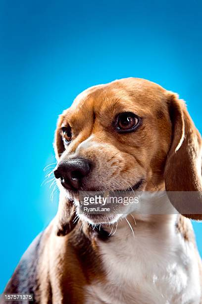 Snarling Angry Beagle