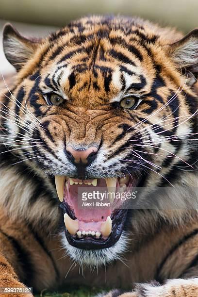 Snarling Bengal tiger - Panthera tigris tigris, controlled conditions