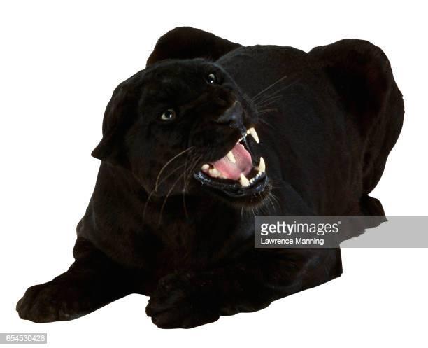 Snarling Black Panther