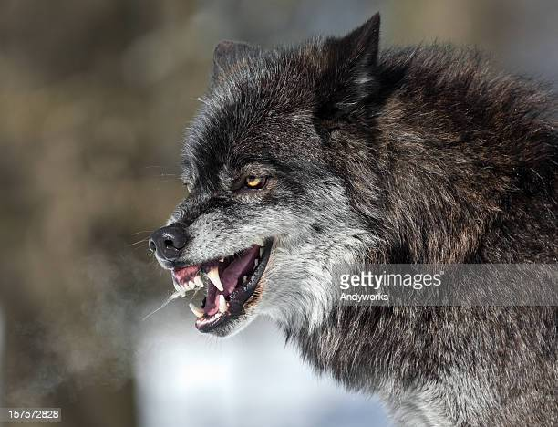 snarling black wolf - fang stock pictures, royalty-free photos & images