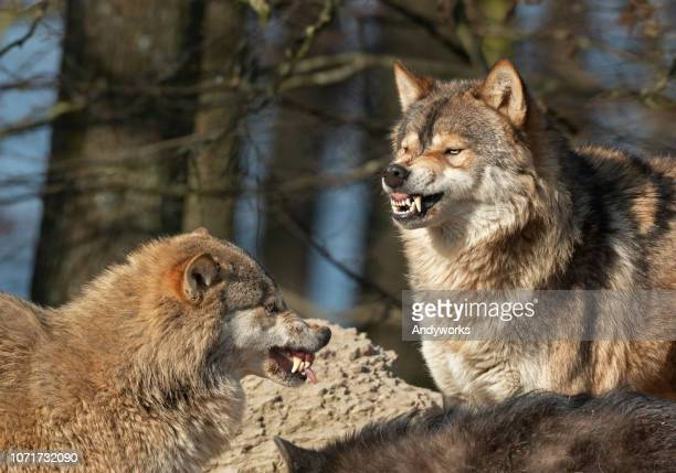 snarling canadian timberwolves - wild dog stock pictures, royalty-free photos & images