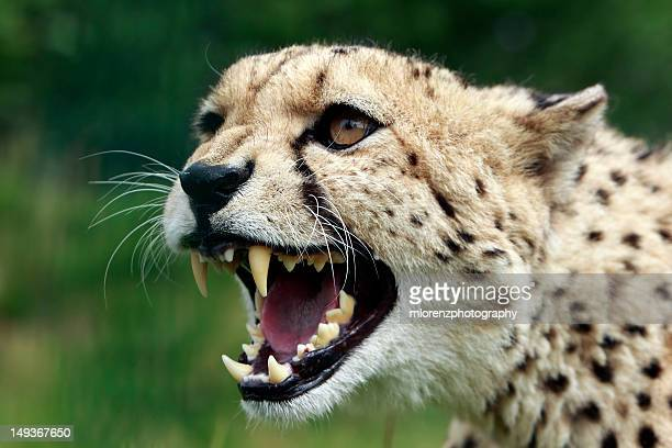snarling cheetah - ashford kent stock photos and pictures