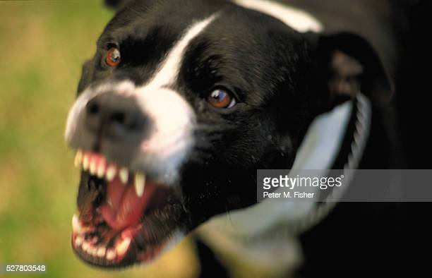 snarling dog - aggression stock pictures, royalty-free photos & images